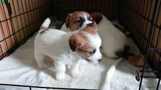 子犬が生まれていますよ http://www.woof.jp/jrt.html 2018年3月26日に...