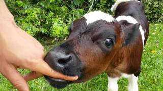 Hungry Baby Cow