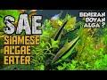 Siamese algae eater ikan pembersih aquascape paling SAE ~ BASAHMAS #06