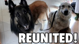 Reunited with a Czechoslovakian Wolfdog | Day in the Life of a Belgian Shepherd Dog