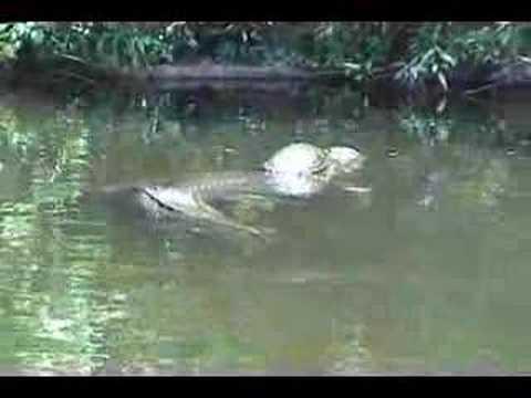 hqdefault turtle riding gator youtube