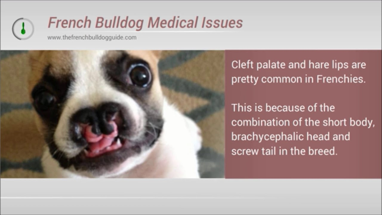 Do French Bulldogs Have Breathing And Health Problems Youtube