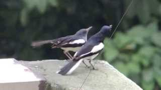 Oriental Magpie Robin - Birds mating