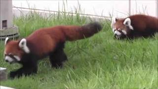 福知山市動物園でレッサーパンダの双子の赤ちゃんが生まれました!