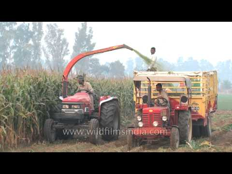 This is how forage harvester works