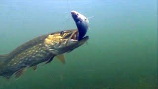 Какой живец лучше Карась Пескарь или Плотва Подводная съемка Рыбалка на Щуку