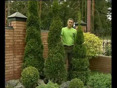 Можжевельник казацкий Вариегата, Juniperus Sabina