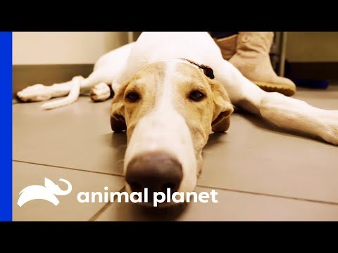 Dr. Blue Meets 'The Unicorn Of The Vet World' - An Adorable Greyhound Pup! | The Vet Life