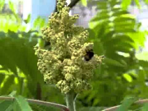 bumblebee above the flower of Rhus glabra