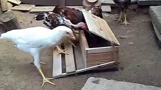 Repeat youtube video comedouro com tampa automática para galinha  - alimentador con cubierta automática para el pollo