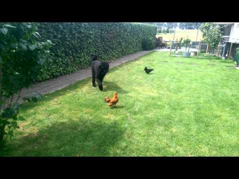 Dog herding chickens (Bouvier des Flanders)
