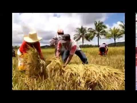 Masinag Organic 1CV: Nortehanon Access Center - Palay / Rice (Catarman, Northern Samar)