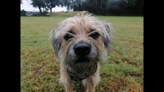 Ivy the Border Terrier  4 Weeks Residential Dog Training
