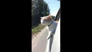 Кот в машине