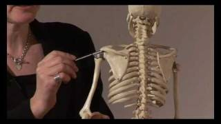 Muscle Actions, Origins and Insertions - Online Anatomy and Physiology Training