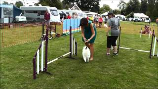 Japanese Spitz - Agility At Spitz In The Park