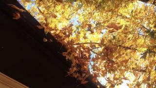 Fall Leaves at 240fps