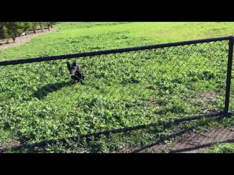 Nox - The Australian Kelpie - Training at the park