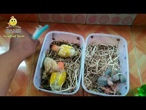 Cara Meloloh Lovebird Bagi Pemula Umur 1 Hari 3-7-10-12 Hari || BAMIS LOVEBIRD Farm