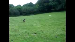German Shepard Tries To Catch Greyhound Cross Lilly Chasing