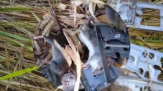 ดักหนูนา หนูทองขาว แบบพื้นบ้าน รวบรวมมาให้พี่น้องดูกัน Traditional mouse trap collected for brothers