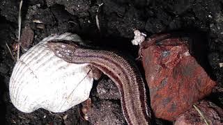Живородящая  ящерица ест пауков