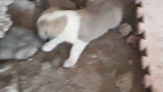 Kangal Samsun Kangal Akbaş Ve Ala Çoban Köpeği Yavruları