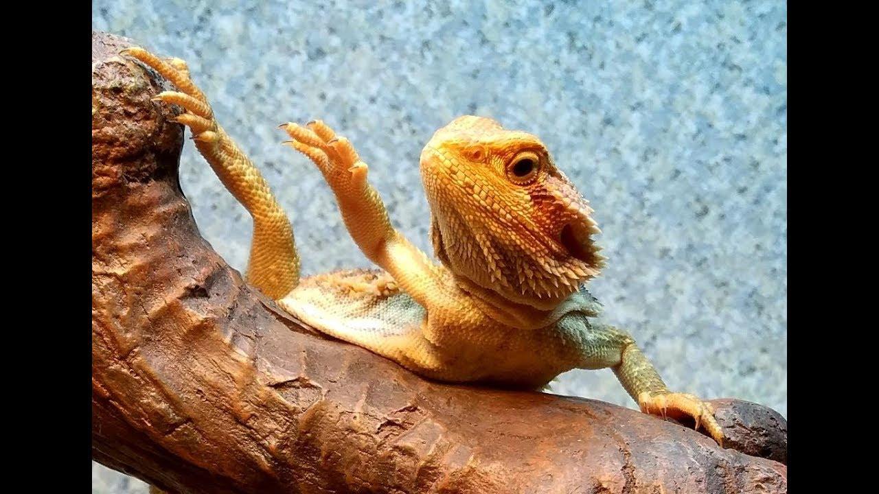 Baby Bearded Dragon Waving Like Crazy