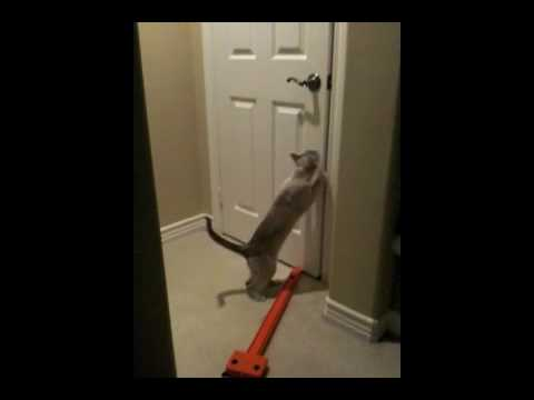 Romeo, Tonkinese cat - Breaking & Entering