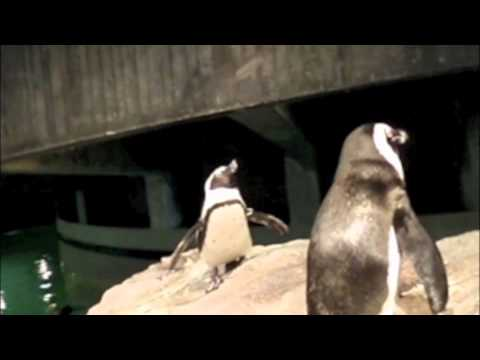Africans Penguins Braying