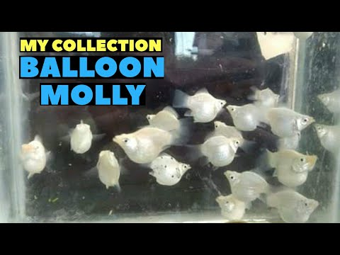 Balloon Molly Fish | Mollies | Live Bearers | #Mollyfish
