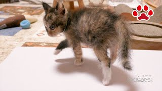 子猫のふく 体重の記録 Cute Kitten Fuku''s Record of body weight【瀬戸のふく日記】