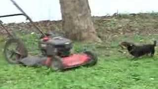 Min Pin Chasing Lawn Mower