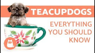 The Teacup Dog: Everything you need to know