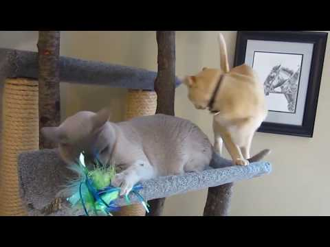 Burmese cats playing