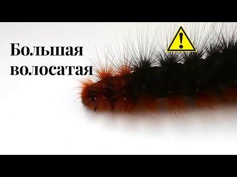 БольшААя волосатая гусеница. Медведица-кайя