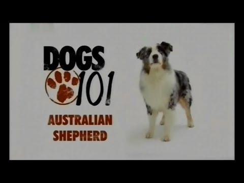 Порода собак Австралийская овчарка аусси