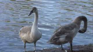 Mute Swan cygnets... Cygnus Olor . British Birds UK ~ Four young /baby Swans