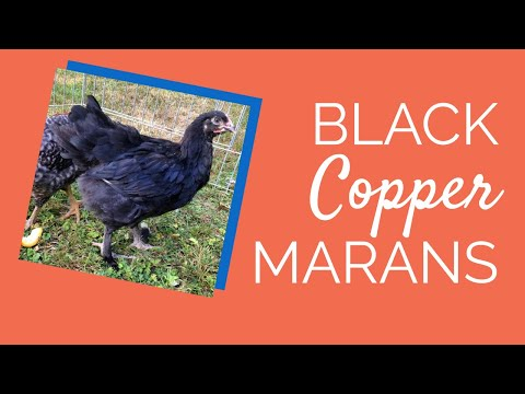 black-copper-marans-chickens- -chickens-for-backyards