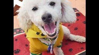 Adoptable-dog-miniature-poodle-sebastian-2y-15lbs-full-grown-adorbs-kenmarrescue-3-5-2014