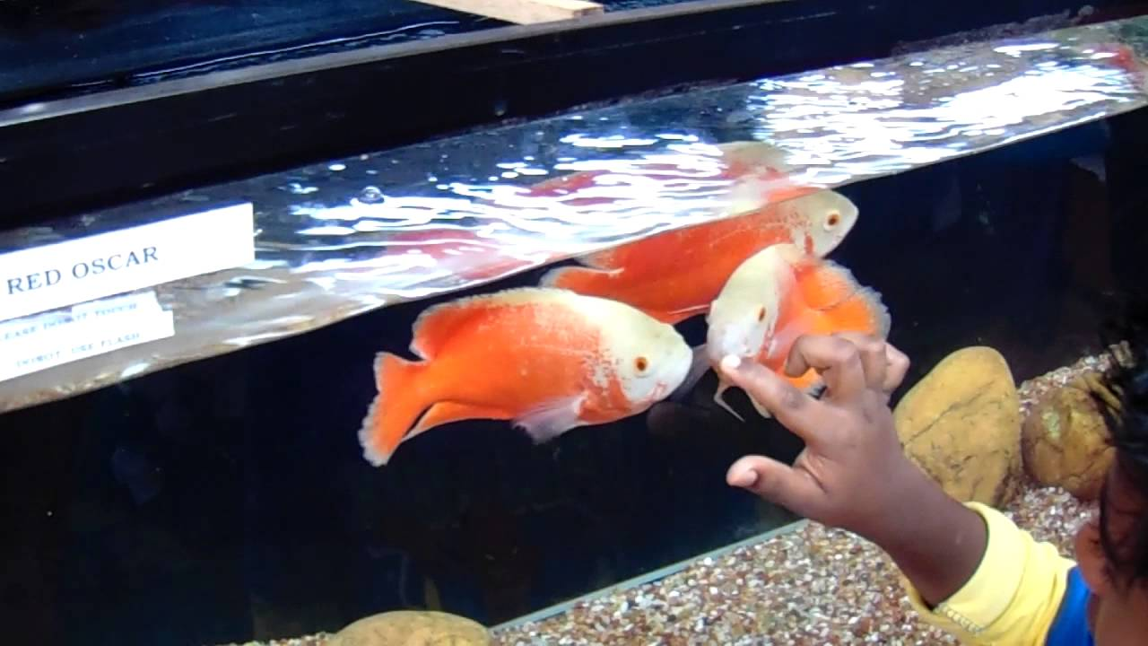 Fire Red Oscar Fish Youtube