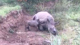 Baby rhino circles its dead mother thumbnail