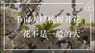 千亩大樱桃树开花,花不是一般的大