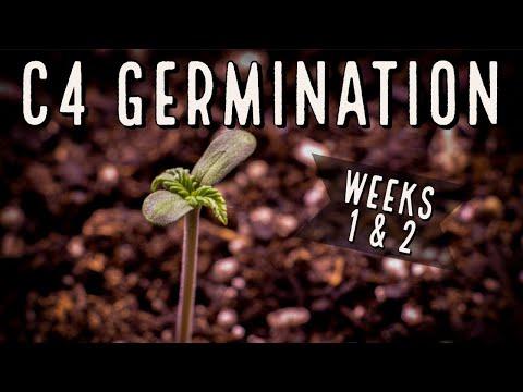 Season 3 (Weeks 1 & 2): C4 Autoflower Germination