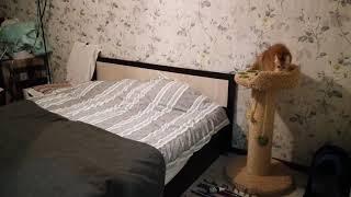 Британский кот. Золотой шиншила