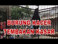 Pancingan Burung Kacer Tembakan Kasar  Mp3 - Mp4 Download