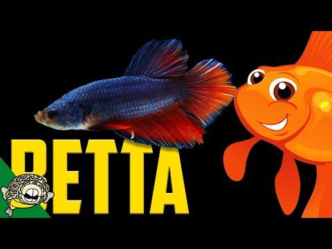 The Betta 1 Hour Live Stream!