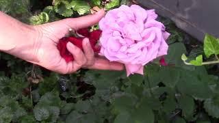 Чтобы розы цвели целое лето! Знаете что надо делать!?