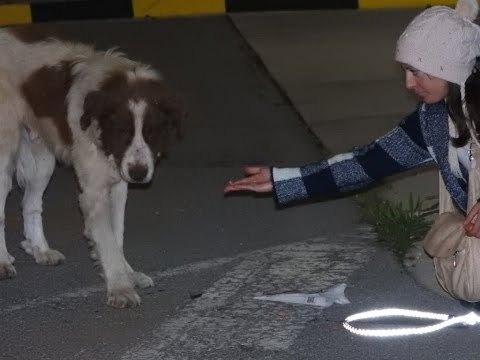 Rescue of a giant dog who didn't know he was asking for help