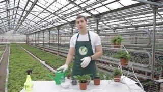 Неприхотливые комнатные растения – домашний папоротник Нефролепис